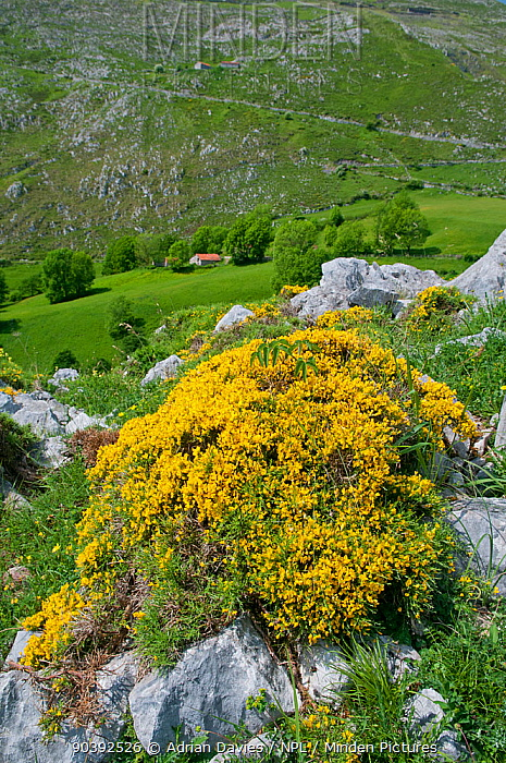 Spanish Broom (Genista hispanica) in flower, Picos de Europa, northern Spain  -  Adrian Davies/ npl