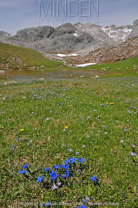 Spring Gentian (Gentiana verna) in flower in valley with snow and melt water from the mountains in the background, Picos de Europa, northern Spain June  -  Adrian Davies/ npl