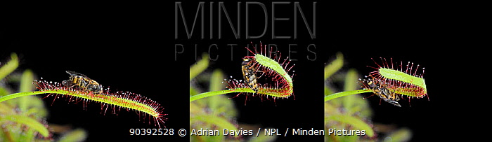 Cape Sundew (Drosera capensis) sequence showing capture of fly Digital composite  -  Adrian Davies/ npl