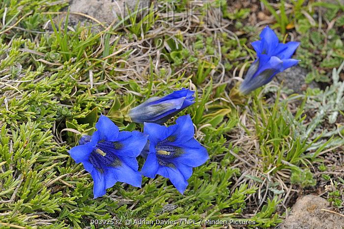 Trumpet Gentian (Gentiana acaulis) Picos de Europa, northern Spain  -  Adrian Davies/ npl