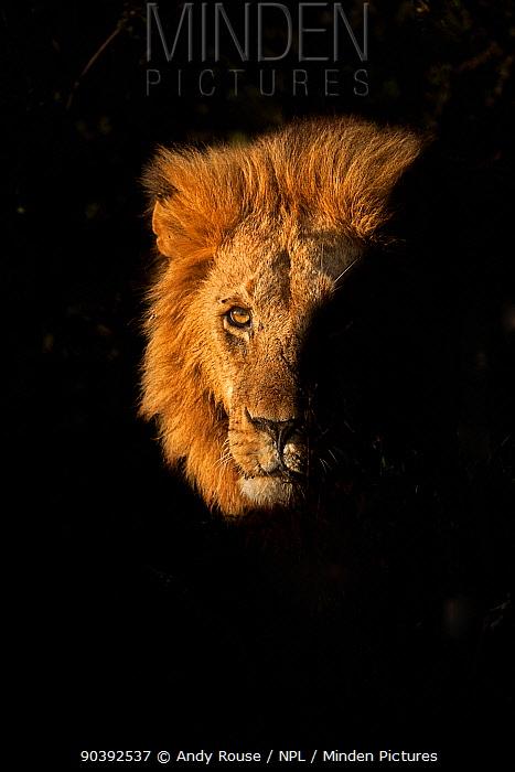 African Lion (Panthera leo) male emerging from bush, Masai Mara, Kenya  -  Andy Rouse/ npl