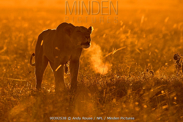 African Lion (Panthera leo) female calling at sunrise, Maasai Mara, Kenya, Africa  -  Andy Rouse/ npl