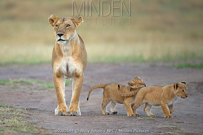 African Lion (Panthera leo) mother with cubs, Maasai Mara, Kenya, Africa  -  Andy Rouse/ npl