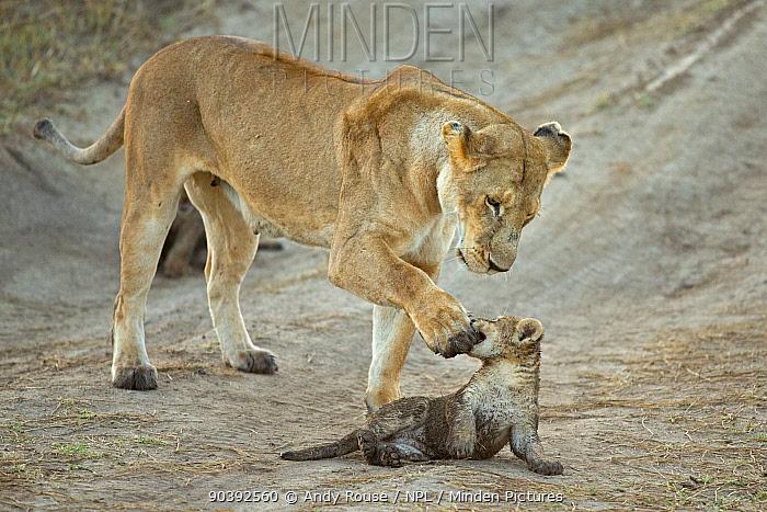 African Lioness (Panthera leo) playing with cub, Maasai Mara, Kenya, Africa  -  Andy Rouse/ npl