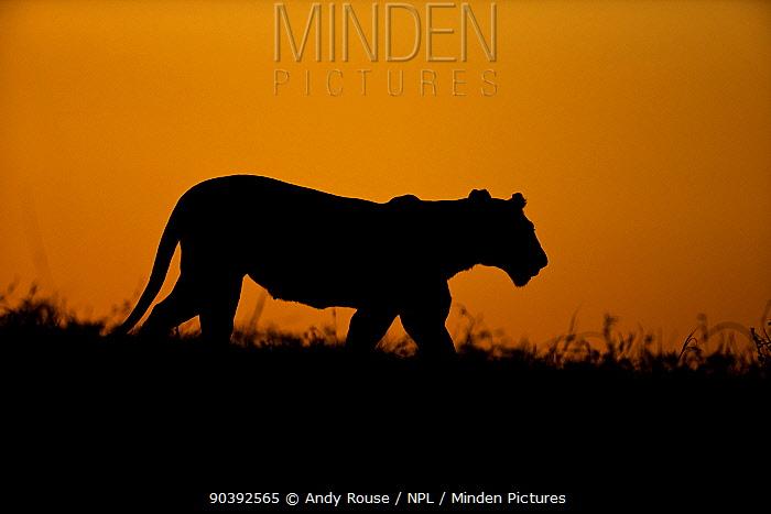 African Lioness (Panthera leo) hunting at sunset, Maasai Mara, Kenya, Africa  -  Andy Rouse/ npl