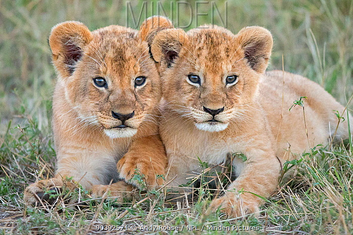 African Lion (Panthera leo) young cubs sitting together, Maasai Mara, Kenya, Africa  -  Andy Rouse/ npl