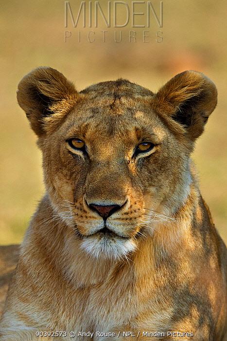 African Lion (Panthera leo) female in shade, Maasai Mara, Kenya, Africa  -  Andy Rouse/ npl
