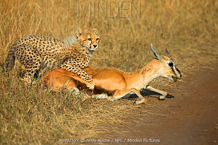 Cheetah (Acinonyx jubatus) juvenile learning to kill prey, caught initially by mother, Maasai Mara, Kenya, Africa  -  Andy Rouse/ npl