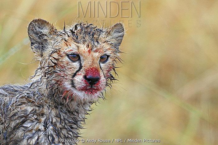 Cheetah (Acinonyx jubatus) cub with blood stained muzzle, in rain after feeding, Maasai Mara, Kenya, Africa  -  Andy Rouse/ npl