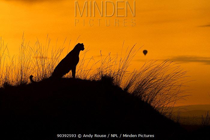 Cheetah (Acinonyx jubatus) female with hot air balloon in the background at sunrise, Maasai Mara, Kenya, Africa  -  Andy Rouse/ npl