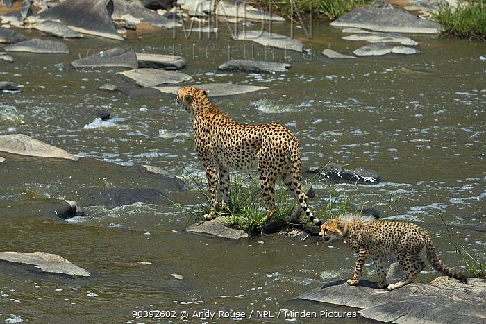 Cheetah (Acinonyx jubatus) female 'Malaika' and cub crossing river Maasai Mara, Kenya, Africa  -  Andy Rouse/ npl