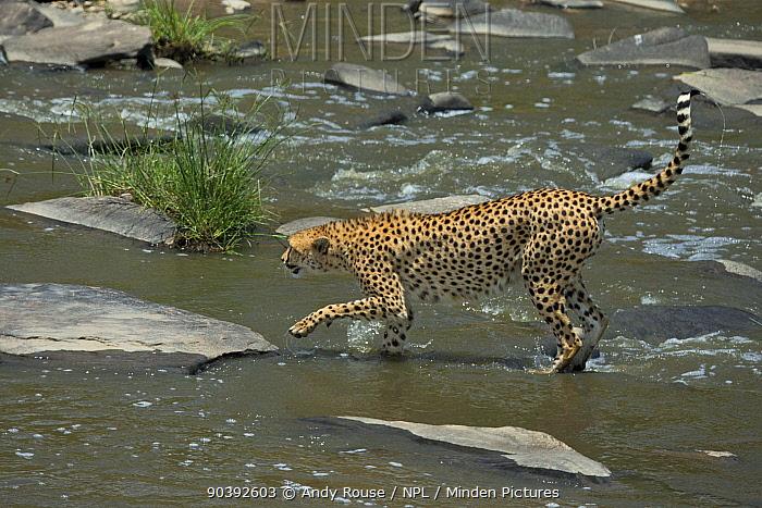 Cheetah (Acinonyx jubatus) female 'Malaika' crossing river Maasai Mara, Kenya, Africa  -  Andy Rouse/ npl