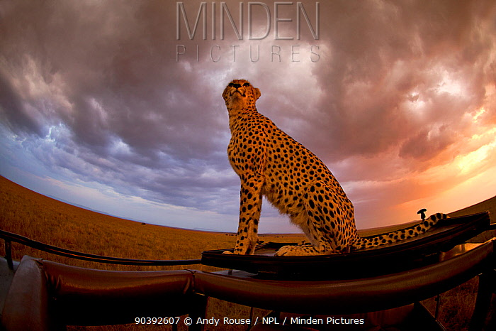 Cheetah (Acinonyx jubatus) female 'Malaika' keeping watch out for prey from vehicle Maasai Mara, Kenya, Africa  -  Andy Rouse/ npl