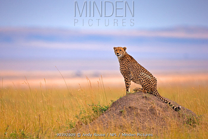 Cheetah (Acinonyx jubatus) looking out for prey from termite mound in grassland, Maasai Mara, Kenya, Africa  -  Andy Rouse/ npl