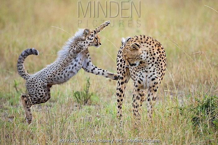 Cheetah (Acinonyx jubatus) mother playing with cub, Maasai Mara, Kenya, Africa  -  Andy Rouse/ npl