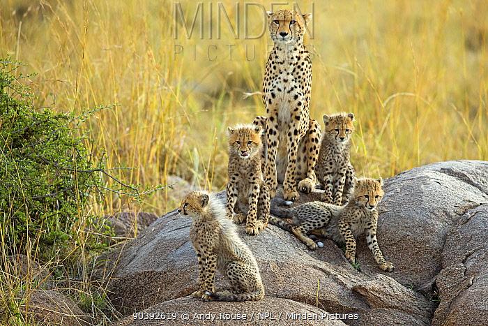 Cheetah (Acinonyx jubatus) family, Maasai Mara, Kenya, Africa  -  Andy Rouse/ npl