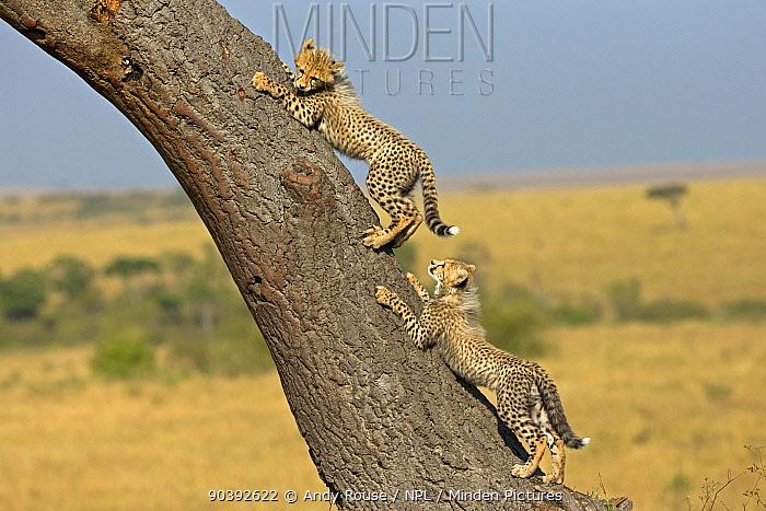 Cheetah (Acinonyx jubatus) cubs climbing tree, Maasai Mara, Kenya, Africa  -  Andy Rouse/ npl