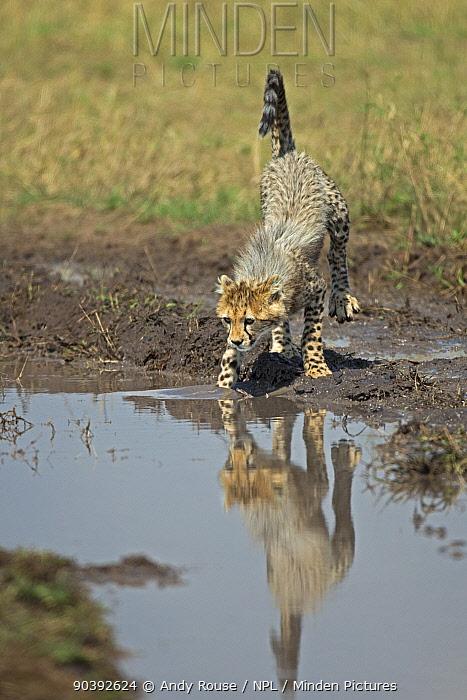 Cheetah (Acinonyx jubatus) cub at waterhole to drink, Maasai Mara, Kenya, Africa  -  Andy Rouse/ npl