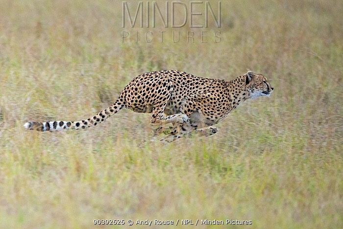 Cheetah (Acinonyx jubatus) chasing gazelle, Maasai Mara, Kenya, Africa  -  Andy Rouse/ npl