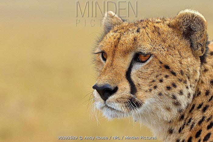 Cheetah (Acinonyx jubatus) portrait, Maasai Mara, Kenya, Africa  -  Andy Rouse/ npl