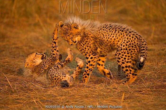 Cheetah (Acinonyx jubatus) cubs playing, Maasai Mara, Kenya, Africa  -  Andy Rouse/ npl