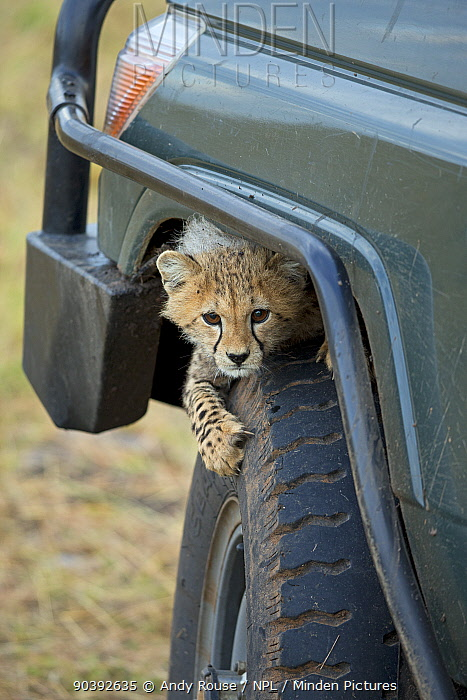 Cheetah (Acinonyx jubatus) cub playing on tyre, Maasai Mara, Kenya, Africa  -  Andy Rouse/ npl