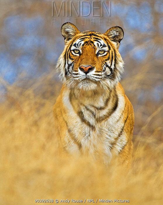 Bengal Tiger (Panthera tigris tigris) female 'Machali', Ranthambore NP, India  -  Andy Rouse/ npl