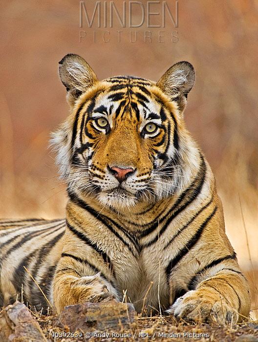 Bengal Tiger (Panthera tigris tigris) female Ranthambore NP, India  -  Andy Rouse/ npl