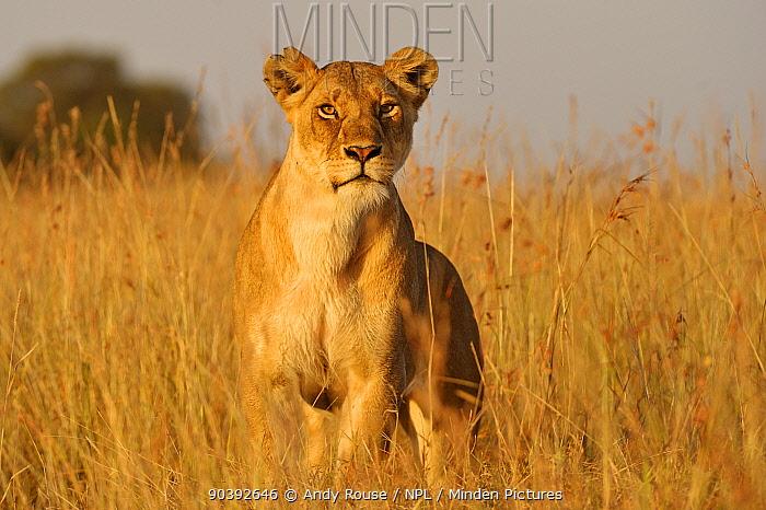 African Lion (Panthera leo) female hunting, Masai Mara, Kenya  -  Andy Rouse/ npl