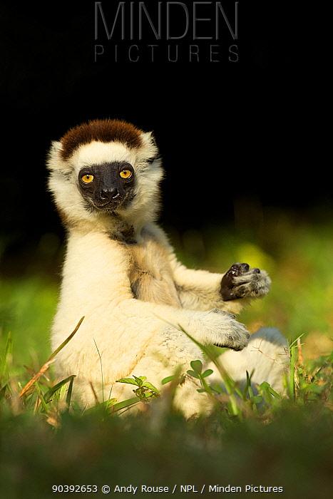 Verreaux Sifaka (Propithecus verreauxi) portrait, Madagascar  -  Andy Rouse/ npl