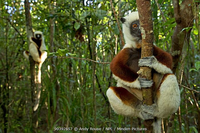 Coquerel's Sifakas (Propithecus coquereli) in coastal rainforest, Palmarium Reserve, Madagascar  -  Andy Rouse/ npl