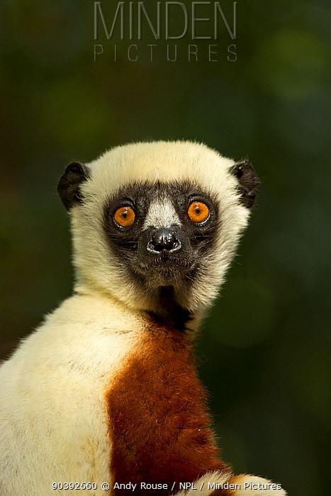 Coquerel's Sifaka (Propithecus coquereli) portrait, Palmarium Reserve, Madagascar  -  Andy Rouse/ npl