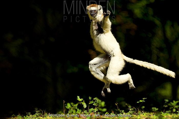 Verreaux Sifaka (Propithecus verreauxi) jumping ('dancing') across ground, Madagascar  -  Andy Rouse/ npl