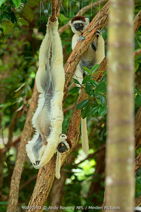 Verreaux Sifaka (Propithecus verreauxi) hanging from tree, in forest Madagascar  -  Andy Rouse/ npl