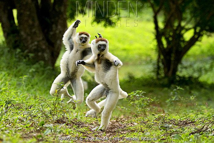 Verreaux Sifakas (Propithecus verreauxi) jumping ('dancing') across ground, Madagascar  -  Andy Rouse/ npl