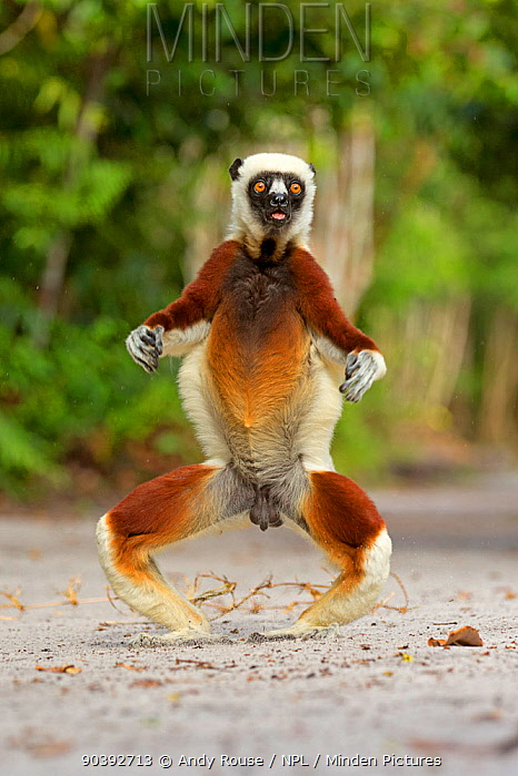 Coquerel's Sifaka (Propithecus coquereli) jumping, Palmarium Reserve, Madagascar  -  Andy Rouse/ npl