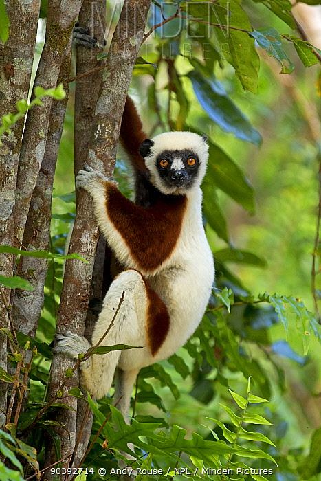 Coquerel's Sifaka (Propithecus coquereli) climbing tree, Palmarium Reserve, Madagascar  -  Andy Rouse/ npl