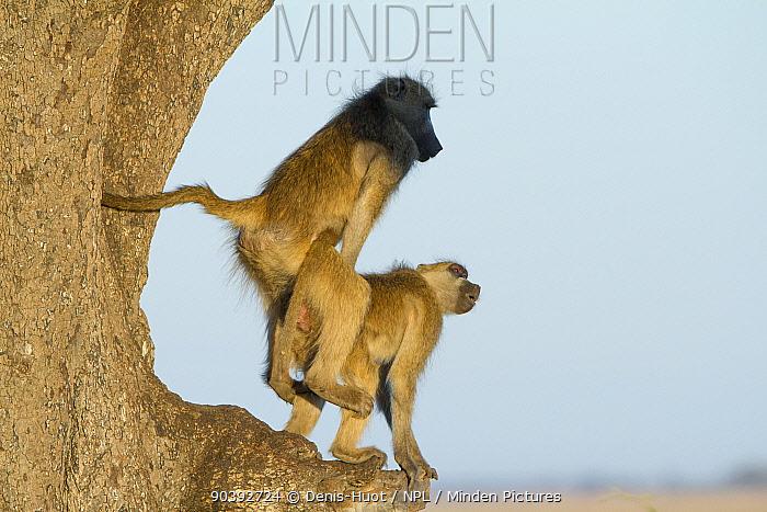 Chacma baboons (Papio ursinus) mating, Chobe National Park, Botswana  -  Denis Huot/ npl