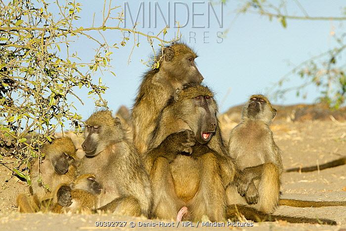 Chacma baboon (Papio ursinus) group resting, Chobe National Park, Botswana  -  Denis Huot/ npl