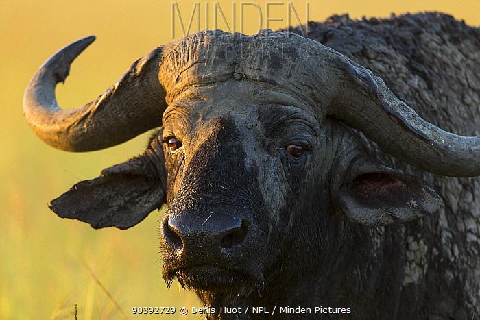 African buffalo (Syncerus caffer) male close-up, Masai-Mara Game Reserve, Kenya  -  Denis Huot/ npl