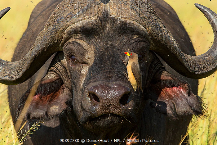 African buffalo (Syncerus caffer) male with a Yellow-billed oxpecker (Buphagus Africanus) cleaning him, Masai-Mara Game Reserve, Kenya  -  Denis Huot/ npl