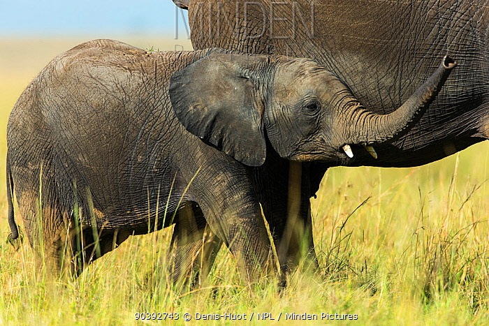 Elephant (Loxodonta Africana) baby near its mother, Masai-Mara Game Reserve, Kenya  -  Denis Huot/ npl