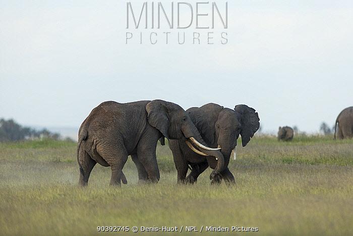 Elephant (Loxodonta Africana) males fighting, Amboseli National Park, Kenya  -  Denis Huot/ npl