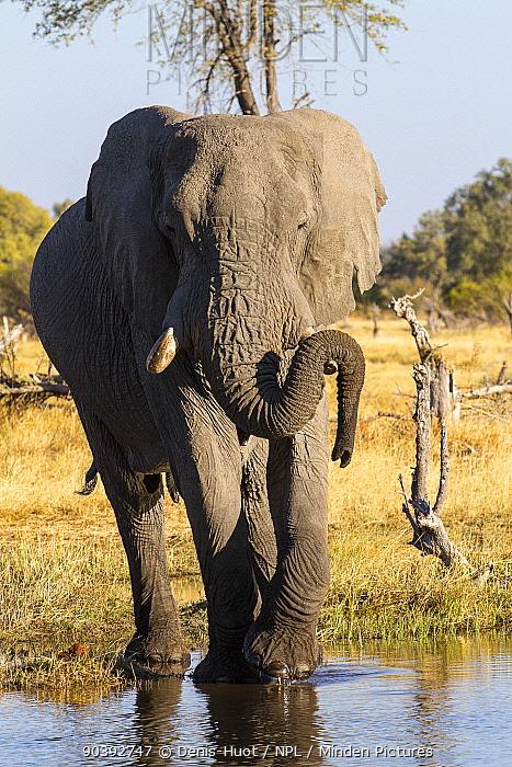 Elephant (Loxodonta Africana) male, Khwai Game Reserve, Botswana  -  Denis Huot/ npl