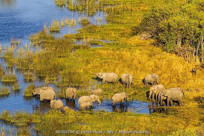 Elephant (Loxodonta Africana) herd in wetlands, aerial view, Okavango delta, Botswana  -  Denis Huot/ npl