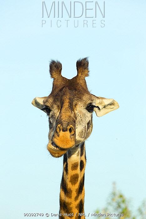Masai Giraffe (Giraffa camelopardalis tippelskirchi) portrait, Masai Mara, Kenya  -  Denis Huot/ npl