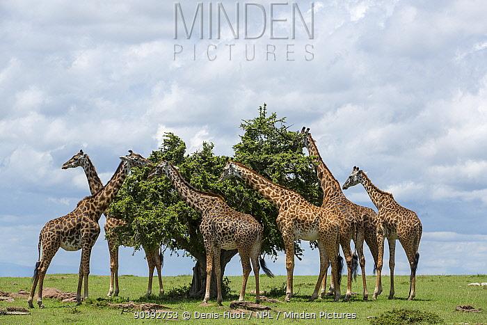 Masai giraffe (Giraffa camelopardalis tippelskirchi) group feeding, Masai-Mara Game Reserve, Kenya  -  Denis Huot/ npl
