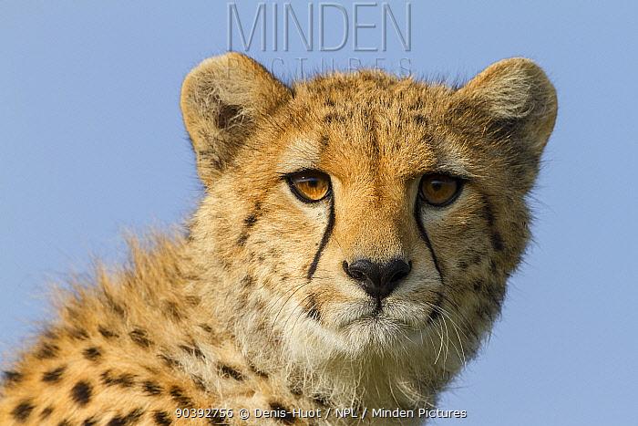 Cheetah (Acinonyx jubatus) portrait of juvenile, Masai-Mara Game Reserve, Kenya  -  Denis Huot/ npl