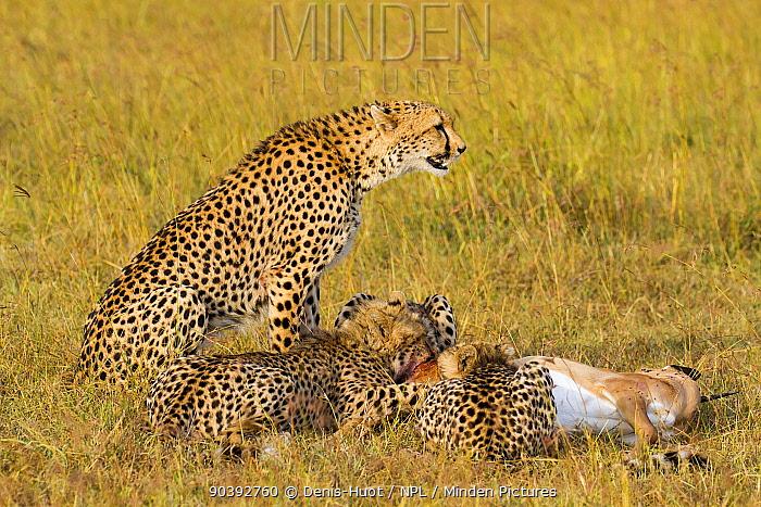 Cheetah (Acinonyx jubatus) alert female with feeding young, Masai-Mara Game Reserve, Kenya  -  Denis Huot/ npl