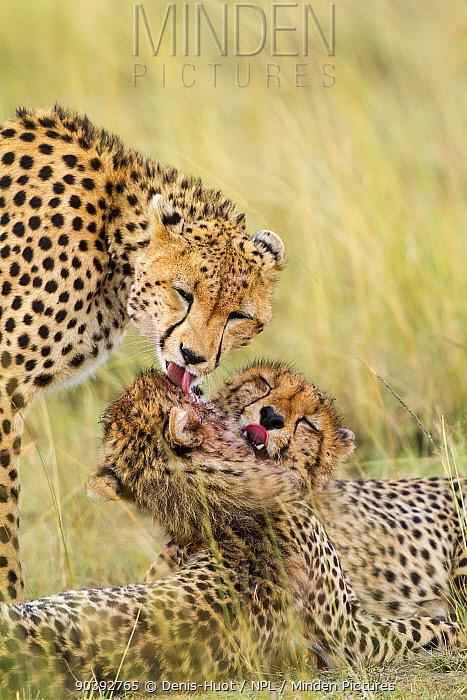 Cheetah (Acinonyx jubatus) female and juveniles grooming together, Masai-Mara Game Reserve, Kenya  -  Denis Huot/ npl